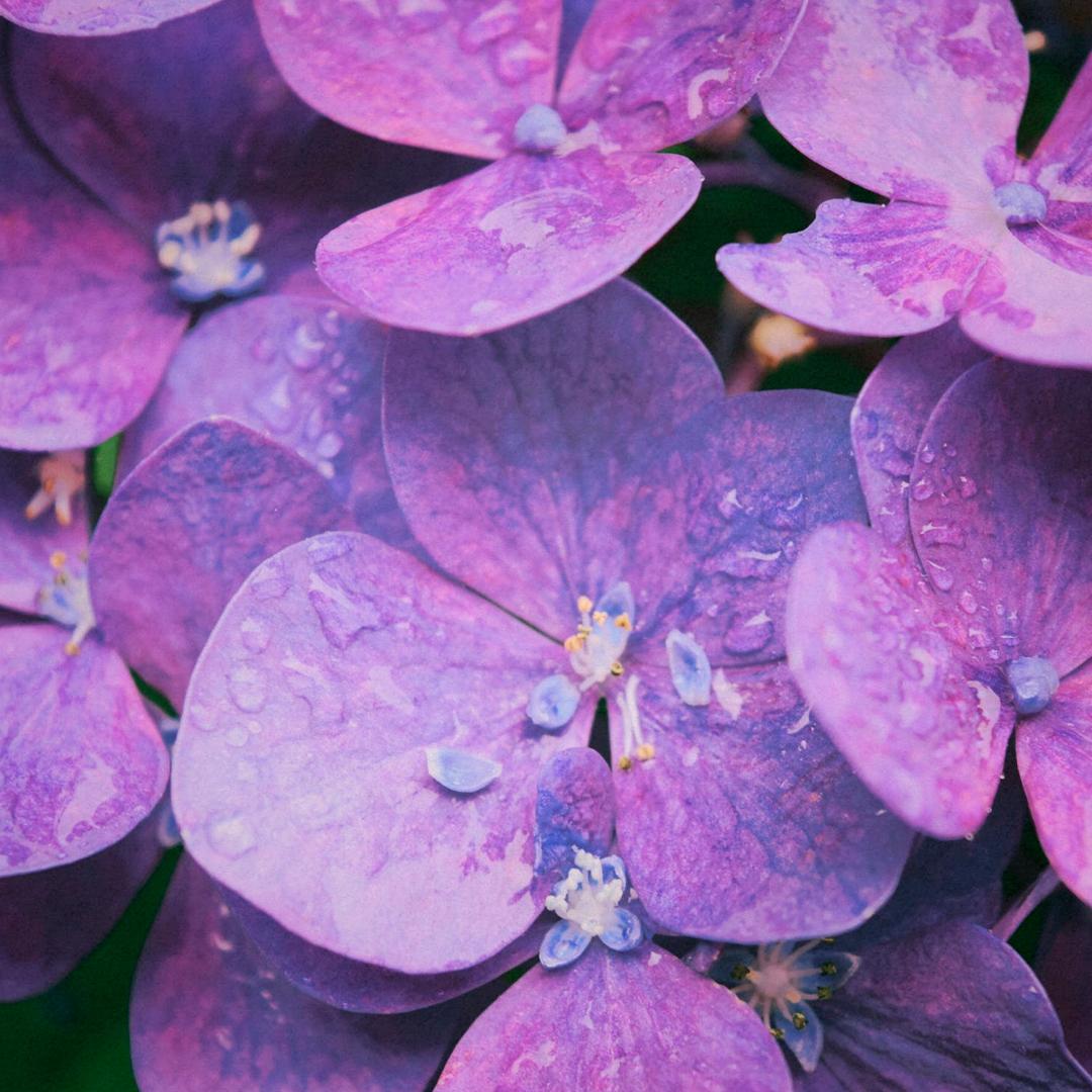 Violet - Heart note