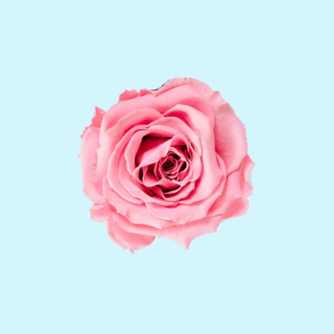 Rosa - Nota de cuerpo