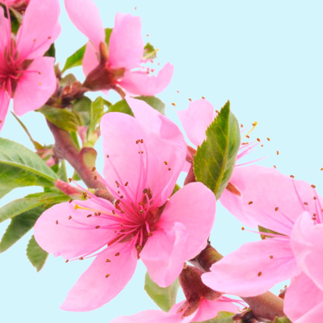 Flor de melocotón - Nota de cuerpo