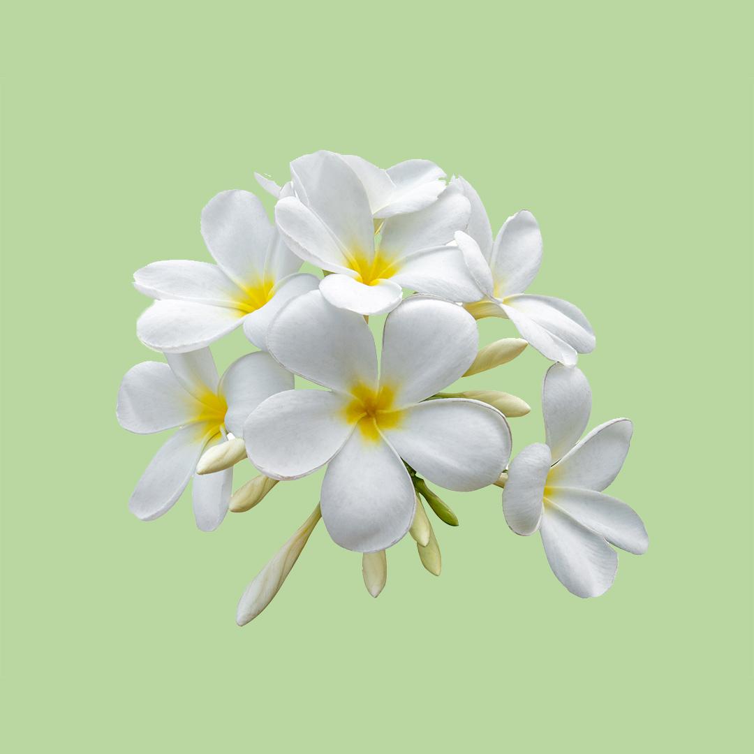 White Jasmine - Heart note