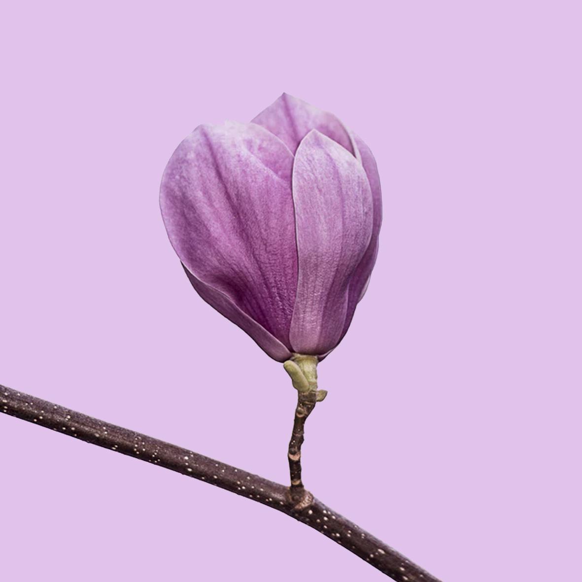 Magnolia - Heart note