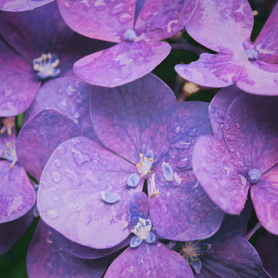 Violeta - Nota de cuerpo