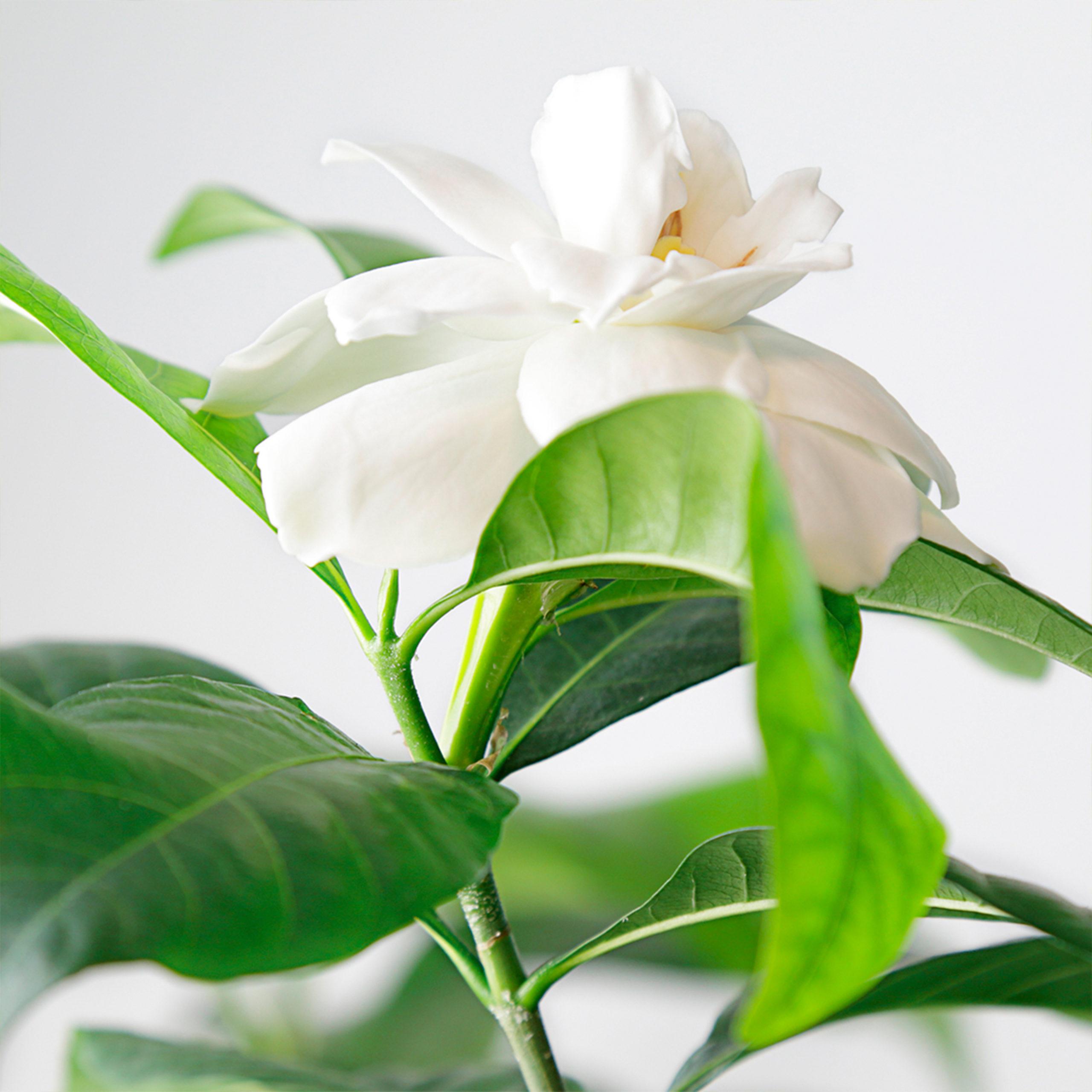 Gardenia - Nota de cuerpo